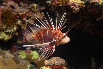 Radial firefish (Pterois radiata) at the coral reef, nocturnal, Red Sea, Egypt, Africa