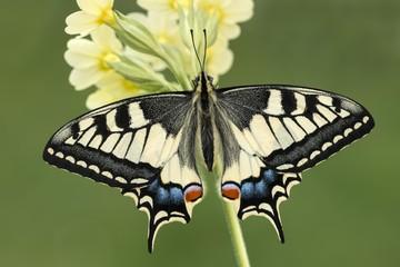 Swallowtail (Papilio machaon) on primrose, Tyrol, Austria, Europe