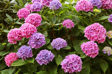 Photo sur Plexiglas Hortensia Pink hydrangea macrophylla or hortensia. A flowering plant with large, spectacular flowers.