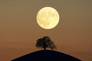 Solitaire tree, Linden tree (Tilia), on moraine hills at full moon, Canton Zurich, Switzerland, Europe