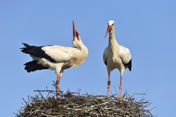White storks (Ciconia ciconia), courtship couple on eyrie, Canton of Aargau, Switzerland, Europe