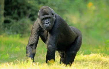 Western lowland gorilla (Gorilla gorilla gorilla), adult, captive