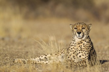 Portrait of cheetah relaxing on landscape