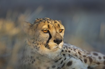 Close up of cheetah relaxing outdoors