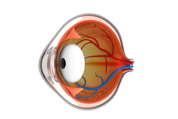 Anatomy of the eye. 3d illustration