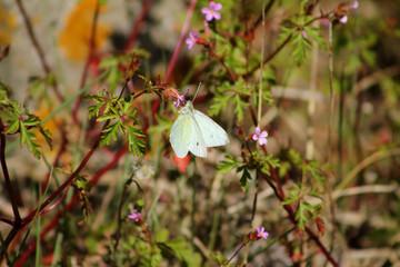 papillon blanc qui butine une fleur sauvage des prés pour fond