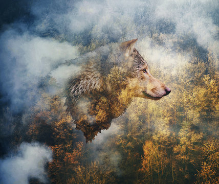Photo Collage: Head of the Wolf on the Background of Autumn Forest