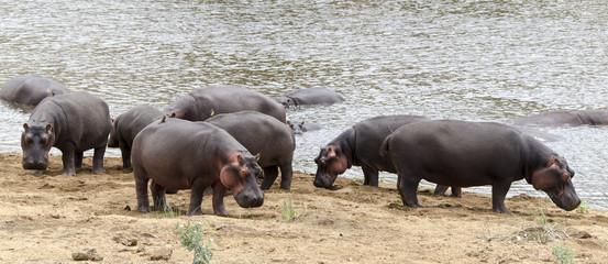 Hippopotame, Hippopotamus amphibius, Afrique du Sud