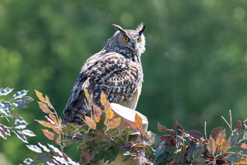 Portrait of European eagle owl standing. Rural countryside wildlife image.