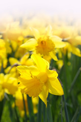 Close-up of a beautiful yellow daffodils in the backlight of the Spring Sun. View to Yellow Daffodil (Narcissus) Flowers on a sunny Day in Spring.