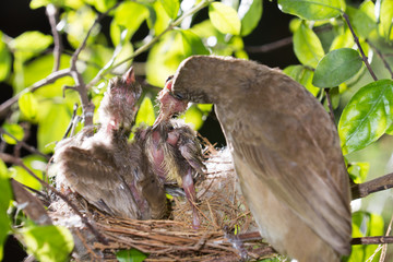 bird mother family streak-eared bulbul or pycnonotus conradi feeding baby in forest nature