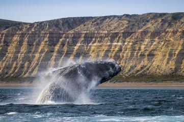 Whale jump , Patagonia