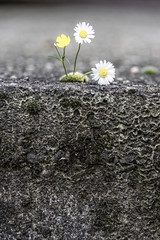 Daisy in the cracked ground