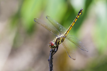 Image of crimson dropwing dragonfly(female)/Trithemis aurora on a branch on nature background. Insect. Animal