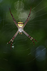Image of multi-coloured argiope spider (Argiope pulchellla) on the spider web. Insect, Animal.
