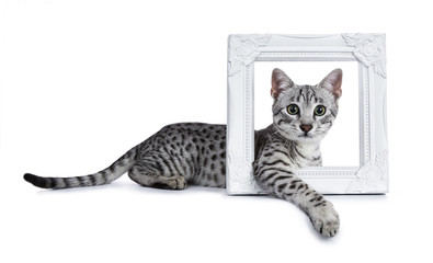 Cute silver spotted Egyptian Mau cat kitten laying side ways with front paw throught a white picture frame isolated on white background and looking to camera with mesmerising green eyes