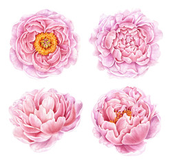 Set of watercolor peonies isolated on white background. Hand drawn botanical illustration. Floral collection.