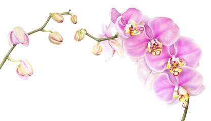 Pink watercolor phalaenopsis orchid branch isolated on white background. Hand drawn realistic botanical illustration