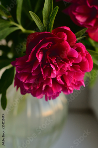 Fresh Pink Peonies Peony Roses In A Vase On White Window Background