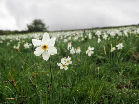 Logarghena in Lunigiana, Italy. Wild flower landscape. NB focus on main plant. Narcissus poeticus.