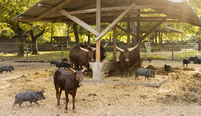 Watusi longhorn cattle and wild boars together in animal community