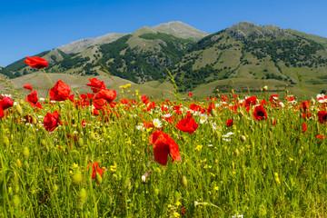 Foto op Plexiglas Blauw a field of poppies on the italian mountains in spring.