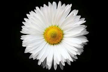 isolated White daisy on black