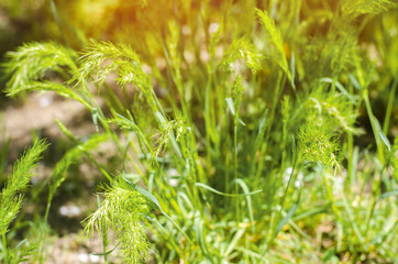 green grass on a sunny day. selective focus. texture of grass. background for design. natural wallpaper. concept of spring