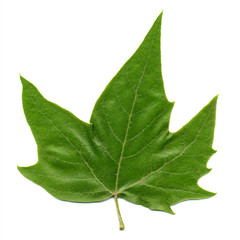 front side of plane (Platanus) tree leaf isolated over white