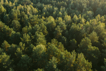 Top view forest during sunrise. Green trees background texture.