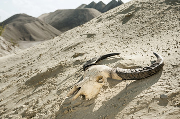 Skull of cow in desert, Bavaria, Germany
