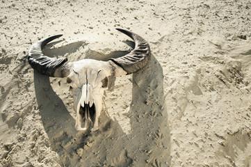 Skull of cow in desert, Bavaria, Germany