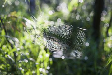Web Spider (Nephila pilipes), Cienfuegos, Cuba