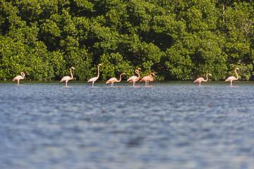 Flamingos on Guanaroca Lagoon, Cienfuegos, Cuba
