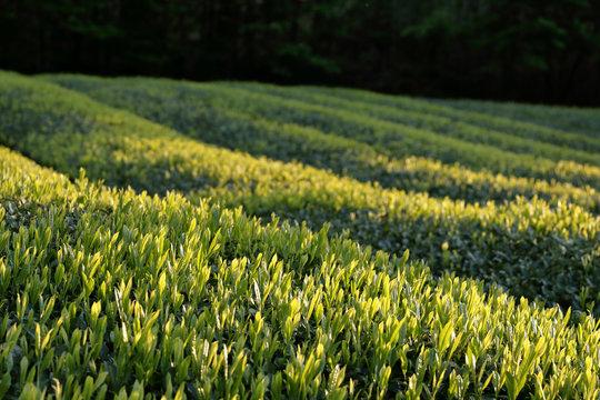 午後の日を浴びた、雨の翌日の若葉が急成長している茶畑