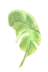 Green banana leaf on white background, watercolor hand painted
