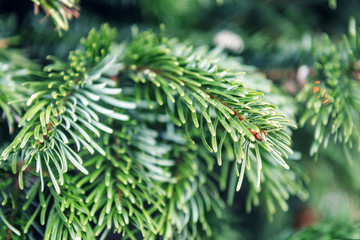 green and lush fir twig