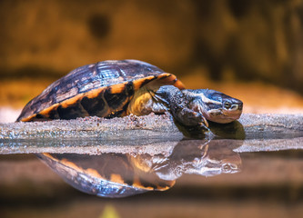 resting water turtle (terrapin)