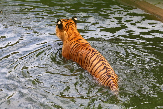 Tiger is swimming in a pond at the zoo.