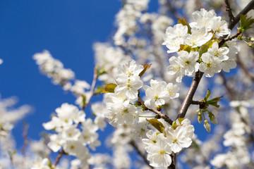 Beautiful cherry blossom sakura in spring time over sky