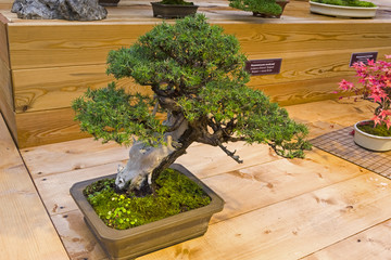 Bonsai tree  - Temple juniper