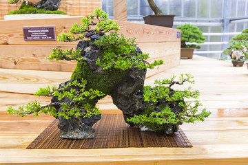 Bonsai tree  - Chinese juniper, composition on a stone.