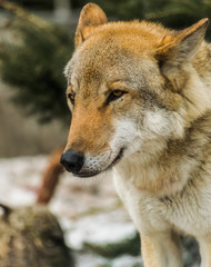 Grey wolf (canis lupus) face looking the left