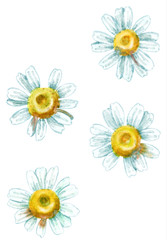 Chamomile watercolor illustration, isolated on white