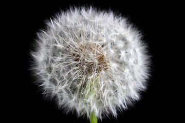 Matured transparent dandelion on a dark background