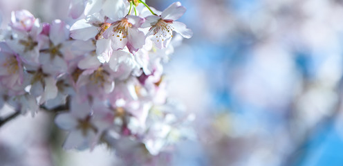 Floral spring gentle background, blooming cherry sakura branches in blue and pink tones. Space for text