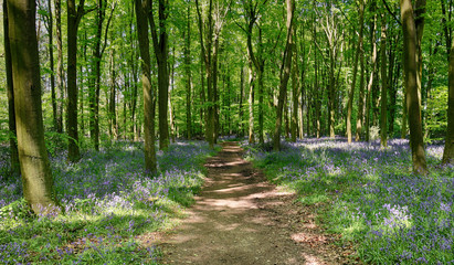 Wall Mural - Spring Bluebells in an English Beech Wood