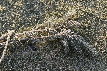 cut off spruce branches with green frost-covered d grass with dew on a sunny winter morning
