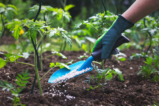 Farmer giving granulated fertilizer to young tomato plants