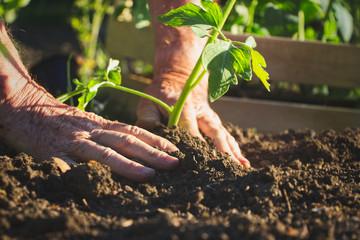 Obraz Old farmer planting tomatoes seedling in organic garden  - fototapety do salonu